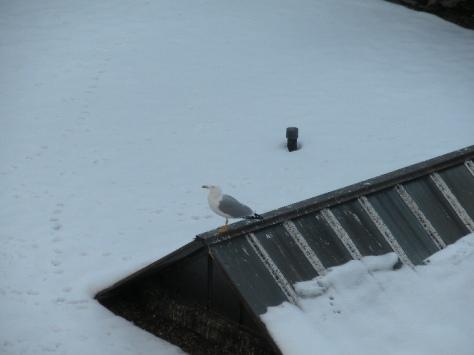 Gabbiano smarrito sui tetti di Torino